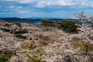 サクラ満開の西行戻しの松公園より松島湾の写真素材 [FYI01494456]