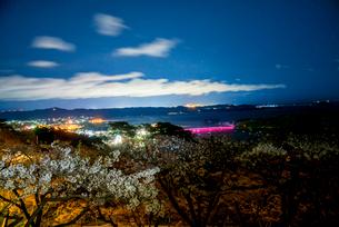 西行戻しの松公園より桜と松島湾の夜景の写真素材 [FYI01494486]