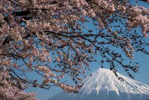 潤井川龍巌淵の桜と富士山の写真素材 [FYI01494519]