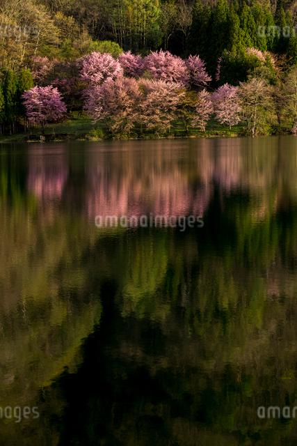湖畔の桜映す中綱湖の写真素材 [FYI01494544]