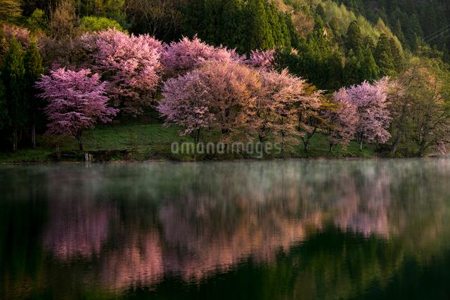 朝霧走る中綱湖と朝日浴びる湖畔の大山桜の写真素材 [FYI01494559]