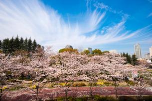 サクラ満開の東京ミッドタウンの写真素材 [FYI01494581]
