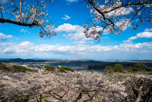 サクラ満開の西行戻しの松公園より松島湾の写真素材 [FYI01494593]