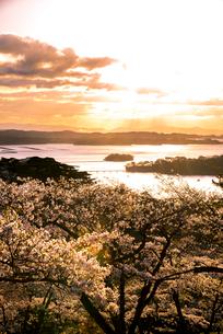 桜満開の西行戻しの松公園より朝の松島湾と桜の写真素材 [FYI01494617]