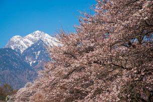 眞原桜並木と南アルプス甲斐駒ケ岳の写真素材 [FYI01494622]