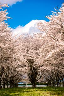 水沢競馬場の桜並木の写真素材 [FYI01494625]