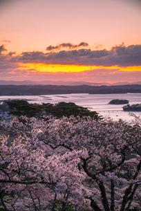西行戻しの松公園の桜並木と夜明けの松島湾の写真素材 [FYI01494892]