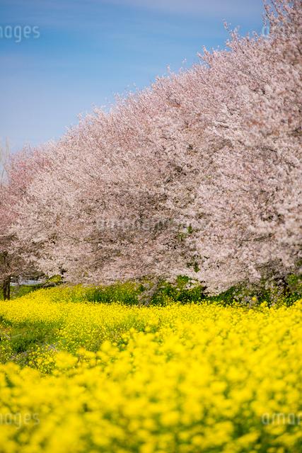菜の花畑と桜の写真素材 [FYI01494901]