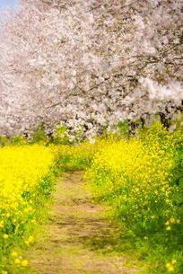 菜の花畑の小道と桜のトンネルの写真素材 [FYI01494906]