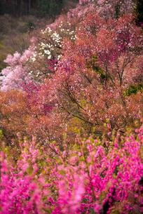 花見山公園 の写真素材 [FYI01495002]