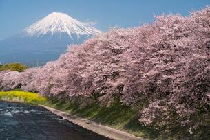 潤井川龍巌淵の桜と富士山の写真素材 [FYI01495006]