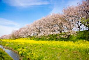 さくら堤公園 菜の花畑と桜並木の写真素材 [FYI01495226]