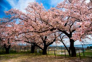 清哲町 校庭の桜と鉄棒の写真素材 [FYI01495299]