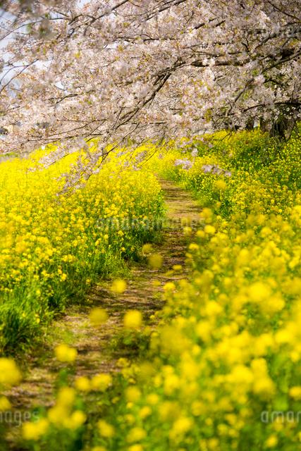 菜の花畑の小道と満開の桜の写真素材 [FYI01495327]