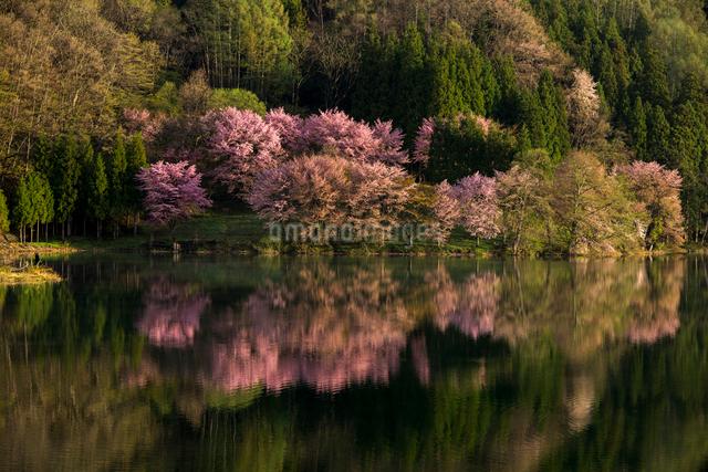 朝の中綱湖と湖畔の大山桜の写真素材 [FYI01495387]