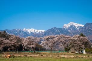 眞原桜並木と南アルプス甲斐駒ケ岳の写真素材 [FYI01495437]