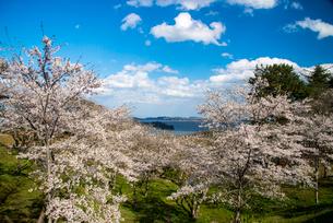 サクラ満開の西行戻しの松公園より松島湾の写真素材 [FYI01495453]