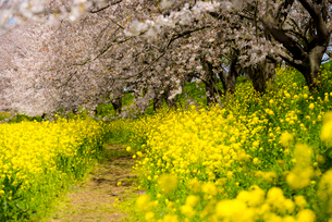 菜の花畑の小道と満開の桜の写真素材 [FYI01495459]