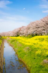 さくら堤公園 菜の花畑と桜並木の写真素材 [FYI01495649]