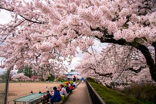 桜満開の水沢公園の写真素材 [FYI01495664]