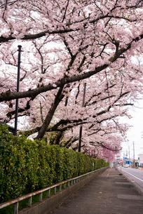 桜満開の水沢公園の写真素材 [FYI01495704]