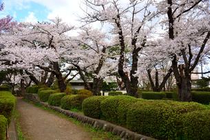 桜満開の水沢公園の写真素材 [FYI01495826]
