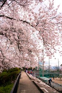桜満開の水沢公園の写真素材 [FYI01495878]