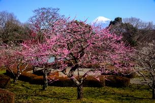 岩本山公園紅梅と富士山の写真素材 [FYI01495940]