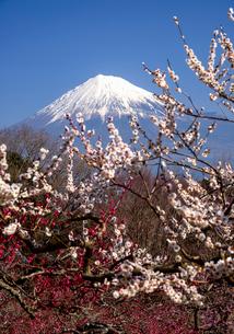 岩本山公園梅と富士山の写真素材 [FYI01495964]