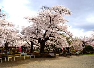 桜満開の水沢公園の写真素材 [FYI01495979]
