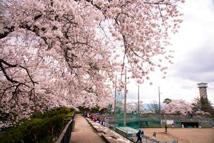 桜満開の水沢公園の写真素材 [FYI01496026]