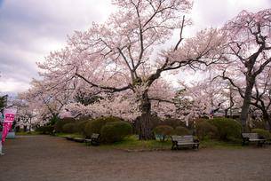 桜満開の水沢公園の写真素材 [FYI01496032]