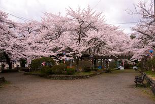 桜満開の水沢公園の写真素材 [FYI01496037]