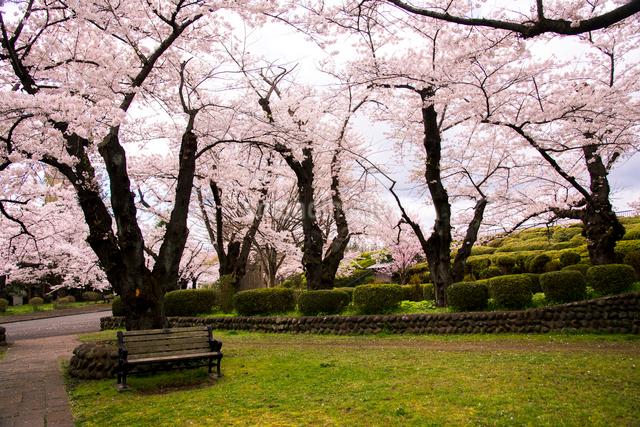 桜満開の水沢公園の写真素材 [FYI01496085]