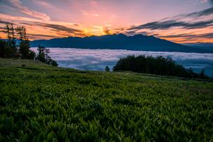 満開のスズランお花畑富士見パノラマリゾートより朝日に染まる雲海と八ヶ岳連峰からの日の出の写真素材 [FYI01496120]