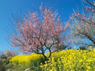 菜の花と梅の写真素材 [FYI01496309]
