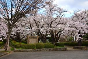 桜満開の水沢公園の写真素材 [FYI01496325]