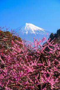 ウメの花と富士山の写真素材 [FYI01496330]