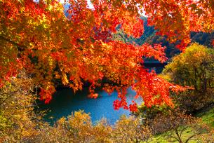 紅葉のモミジともみじ湖 箕輪ダム の写真素材 [FYI01496346]
