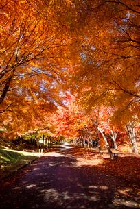 末広広場 カエデ紅葉の並木のトンネルの写真素材 [FYI01496425]