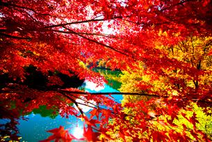 カエデ紅葉と湖の写真素材 [FYI01496485]