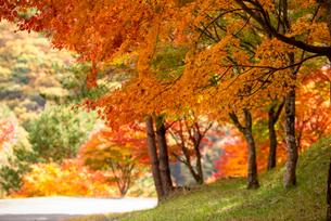 もみじ湖 紅葉の末広広場の写真素材 [FYI01496524]