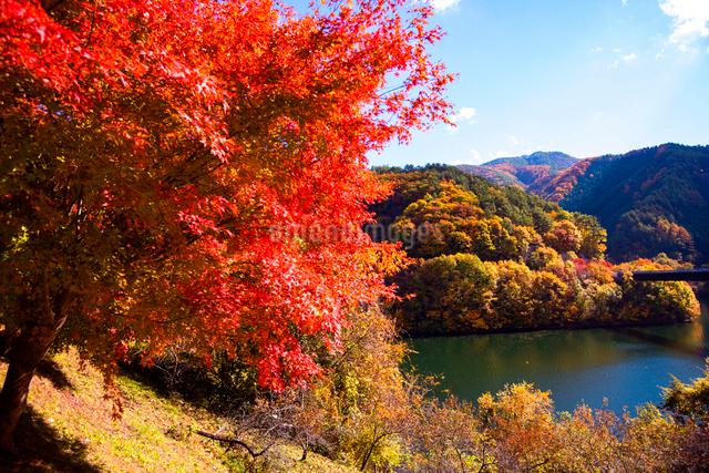 秋のもみじ湖 箕輪ダム の写真素材 [FYI01496549]