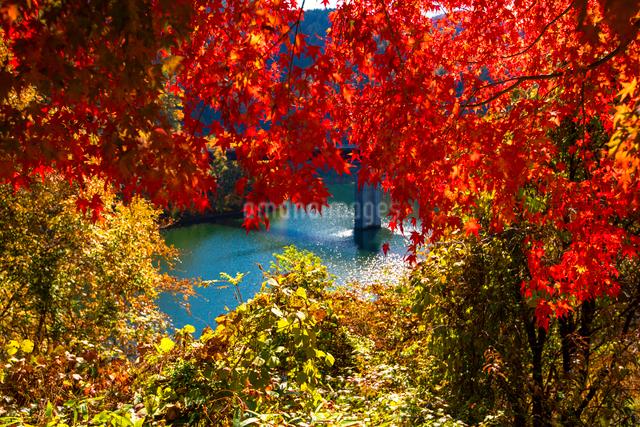 紅葉のモミジともみじ湖 箕輪ダム の写真素材 [FYI01496551]