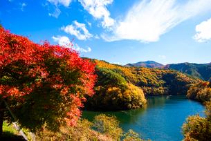 紅葉するもみじ湖 箕輪ダム の写真素材 [FYI01496666]