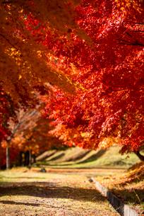 末広広場 カエデ紅葉の小道のトンネルの写真素材 [FYI01496765]