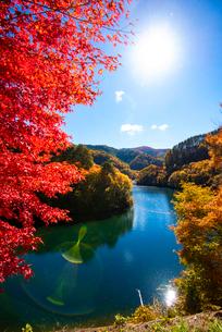 カエデ紅葉ともみじ湖(箕輪ダム)の写真素材 [FYI01496809]