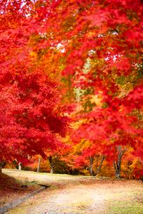 もみじ湖 紅葉のトンネルの写真素材 [FYI01496854]