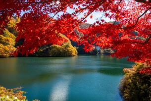 カエデ紅葉ともみじ湖(箕輪ダム)の写真素材 [FYI01496891]