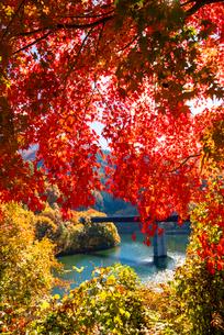 紅葉のモミジともみじ湖 箕輪ダム の写真素材 [FYI01496988]